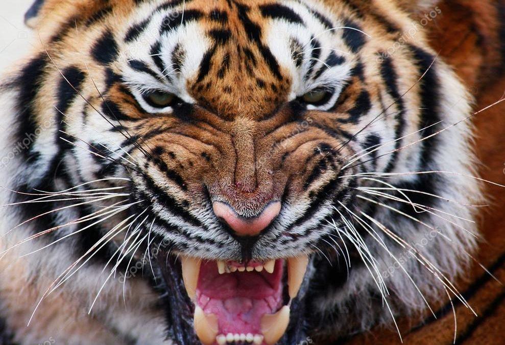 La tigre e la pecora